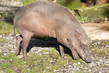 The Female  Buru Babirusa , Babyrousa Babyrussa