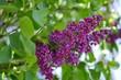 lilac in foliage