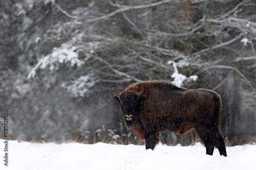 Valokuva  European bison in the winter forest, cold scene with big brown animal in the nat