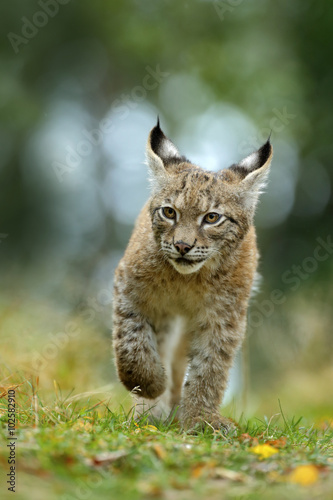 Poster Lynx Cat Eurasian lynx in the green grass in czech forest, baby chick