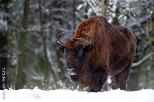 European bison in the winter forest, cold scene with big brown animal in the nature habitat, snow in the tree, Belarus