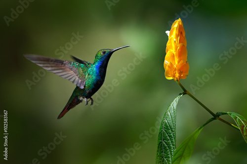 Ingelijste posters Vogel Green and blue Hummingbird Black-throated Mango, Anthracothorax nigricollis, flying next to beautiful yellow flower