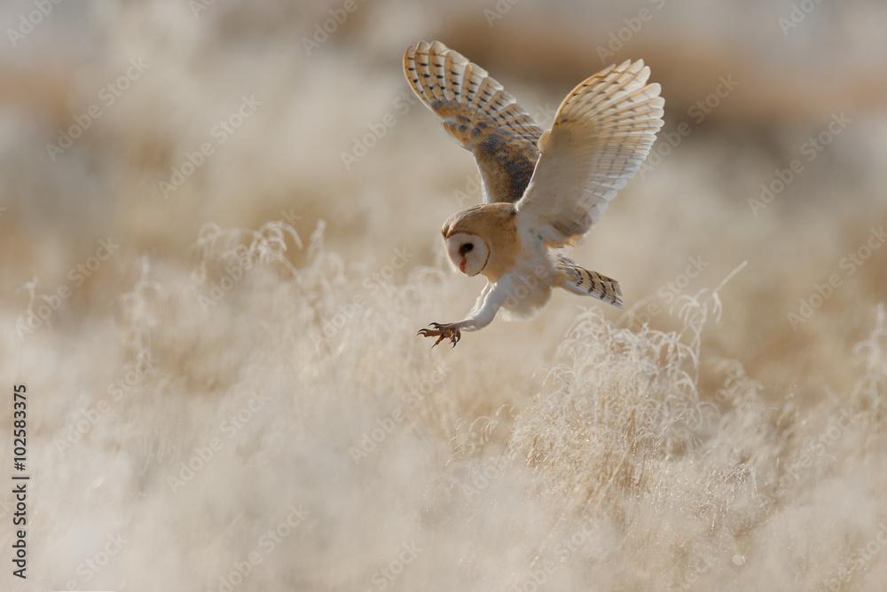 Fototapeta Hunting Barn Owl in morning nice light