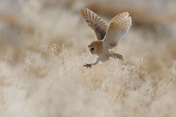 Polowanie Barn Owl w rano ładne światło