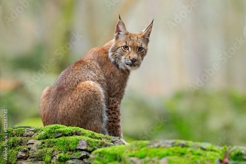 Photo  Eurasian Lynx, wild cat sitting on the orange leaves in the forest habitat