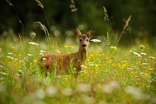 Beautiful Blooming Meadow With Many White And Yellow Flowers And Animal, Roe Deer, Capreolus Capreolus, Chewing Green Leaves