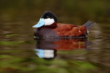 Male Of Brown Ruddy Duck, Oxyura Jamaicensis, With Beautiful Green And Red Coloured Water Surface