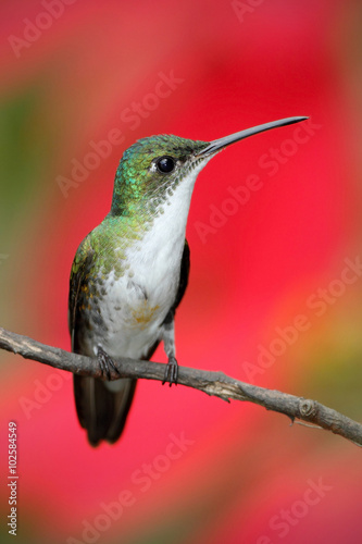 Poster Small himmngbird Andean Emerald sitting on the branch with red flower background