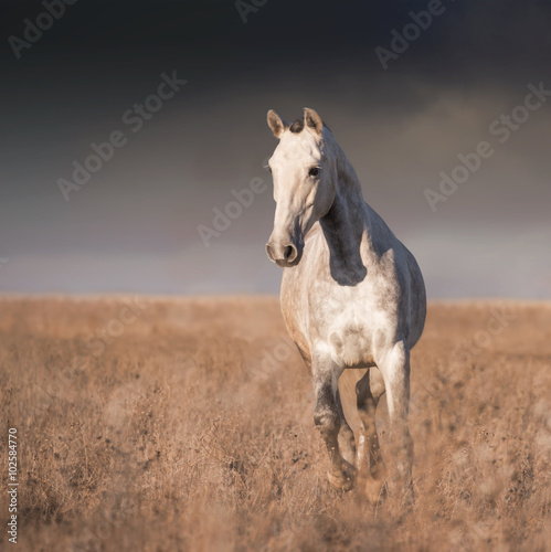 Photo  Gray horse run