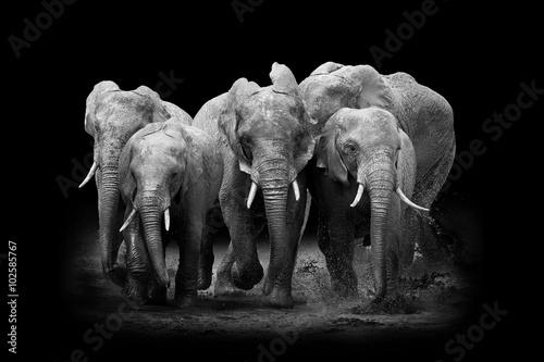 Staande foto Buffel Elephant on dark background