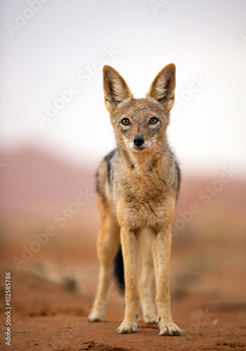 Photo  Young jackal standing on red sand of Sossusvlei, with dune in background, Sossus