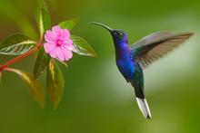 Hummingbird Violet Sabrewing F...
