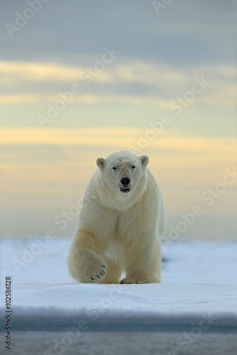 Deurstickers Ijsbeer Dangerous looking polar bear on the ice in Svalbard