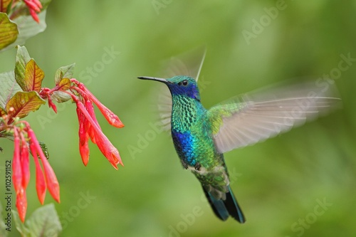 Ingelijste posters Vogel Green and Blue Hummingbird Sabrewing flying next to beautiful red flower