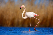Greater Flamingo, Phoenicopterus Ruber, Beautiful Pink Big Bird In Dark Blue Water, With Evening Sun, Reed In The Background, Animal In The Nature Habitat, Camargue, France