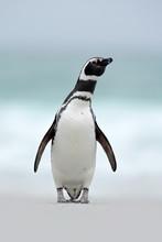 Magellanic Penguin, Spheniscus...