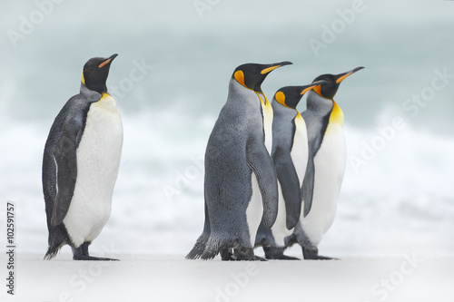 Photo Group of four King penguins, Aptenodytes patagonicus, going from white snow to s