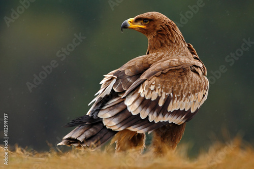 Fotobehang Eagle Steppe Eagle, Aquila nipalensis, sitting in the grass on meadow, forest in background, Norway
