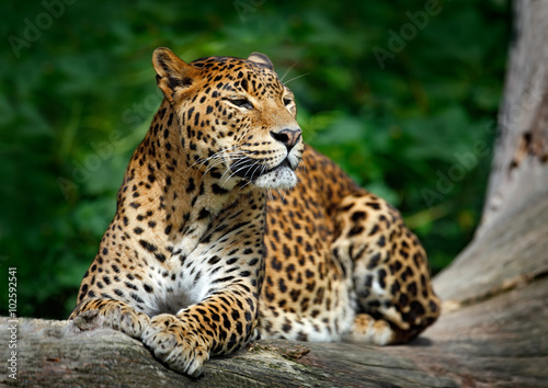 Foto op Canvas Luipaard Sri Lankan leopard, Panthera pardus kotiya, Big spotted cat lying on the tree in the nature habitat, Yala national park, Sri Lanka