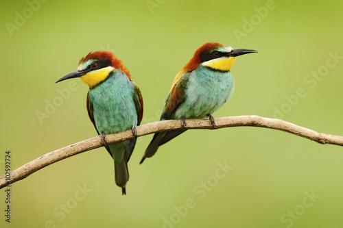 Fotografie, Obraz  Pair of beautiful birds European Bee-eater, Merops apiaster, sitting on the bran