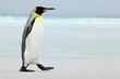 Big King penguin going to blue water, Atlantic ocean in Falkland Island, coast sea bird in the nature habitat