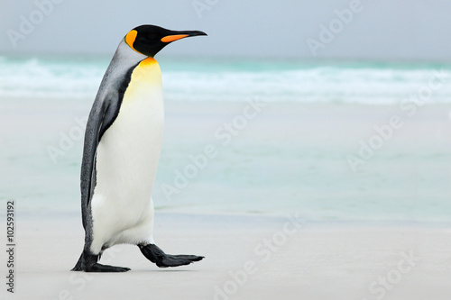 Spoed Foto op Canvas Pinguin Big King penguin going to blue water, Atlantic ocean in Falkland Island, coast sea bird in the nature habitat