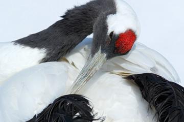 Fototapeta Ptaki Red-crowned crane, Grus japonensis, head portrait with white and back plumage, winter scene, Hokkaido, Japan