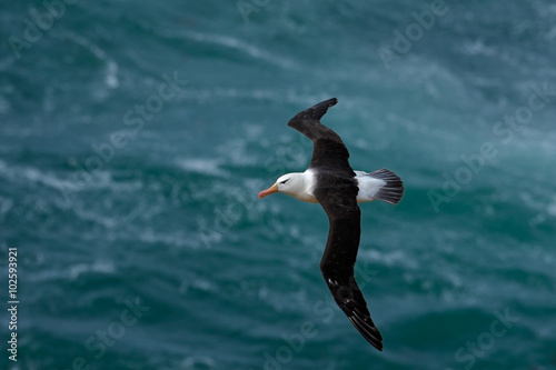 Valokuva  Black-browed albatross, Thalassarche melanophris, bird flight, wave of the Atlan