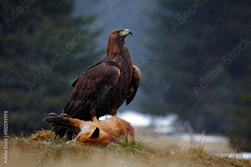 Poster Eagle Golden Eagle, feeding on kill Red Fox in the forest during the rain