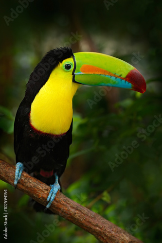In de dag Toekan Bird with big bill Keel-billed Toucan, Ramphastos sulfuratus, sitting on the branch in the forest, Mexico