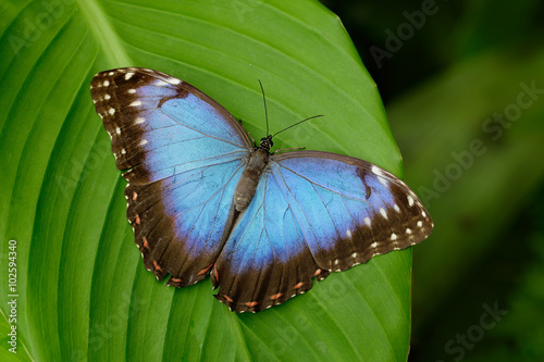 Fotografie, Obraz  Big Butterfly Blue Morpho, Morpho peleides, sitting on green leaves, Costa Rica