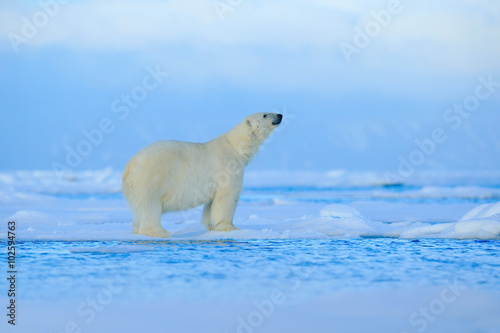 Foto op Canvas Ijsbeer Polar bear, dangerous looking beast on the ice with snow in north Russia, nature habitat