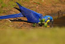 Big Blue Parrot Hyacinth Macaw...