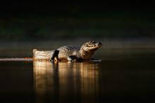 Yacare Caiman, Gold Crocodile ...