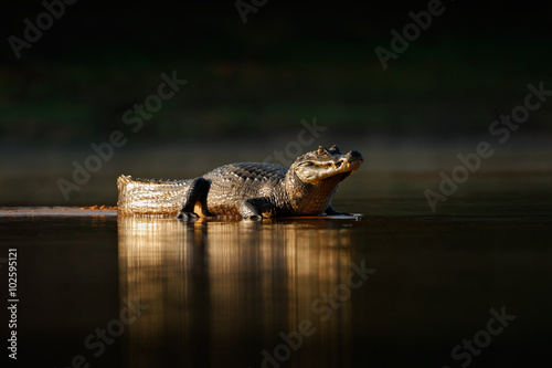 Yacare Caiman, gold crocodile in the dark water surface with evening sun, nature river habitat, Pantanal, Brazil