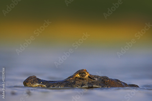 Valokuva  Yacare Caiman, hidden portrait of crocodile in the blue water surface with eveni