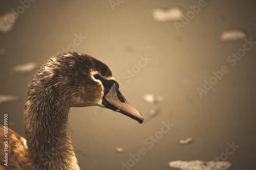 Poster Swan jonge zwaan
