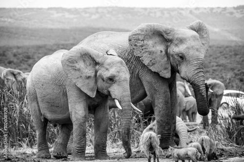 Fototapeta Elephants at Addo Elephant Park, South Africa obraz na płótnie