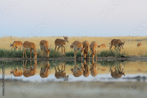 Poster Antilope Wild Saiga antelopes in steppe near watering pond