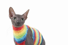 Closeup Of A Curious Sphinx Cat Wearing A Rainbow-colored Sweater (on White)