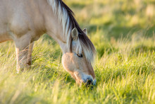 A Fjord Horse Is Eating From H...