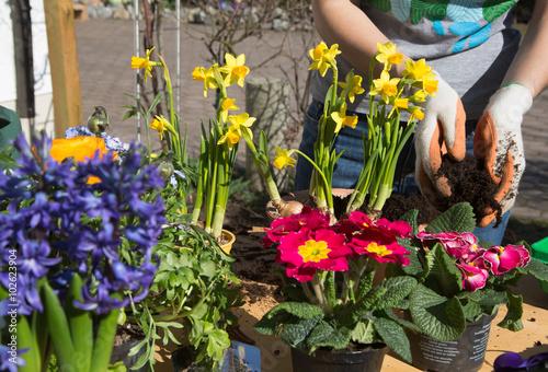 Photo  Frühling. Einpflanzen von Frühlingsblumen im Garten.