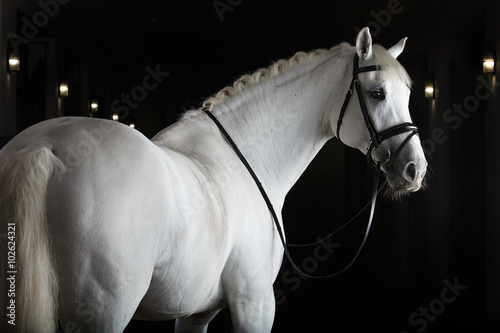 White horse on black background