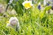 Spielzeug Lamm im grünen Gras unter Osterglocken