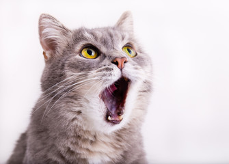 Siva mačka podiže pogled, mjauče i široko je otvorila usta