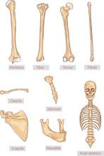 Humerus,tibia,femur,fibula,clavicle,sternum,scapula,mandible,axi