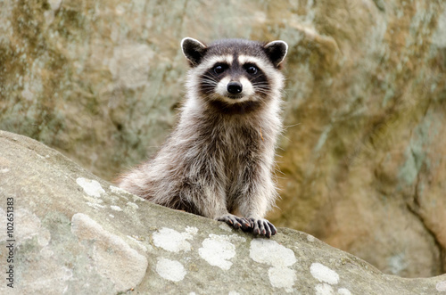 Photo A curious baby raccoon and his parent sit on top of a rock.
