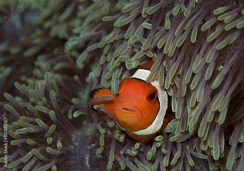 Fotografie, Tablou  clown fish in big anemone