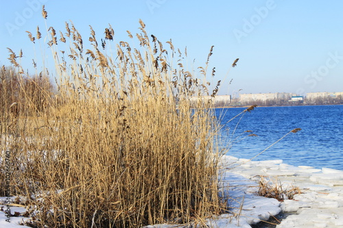 Poster Waterlelies Thickets of reeds