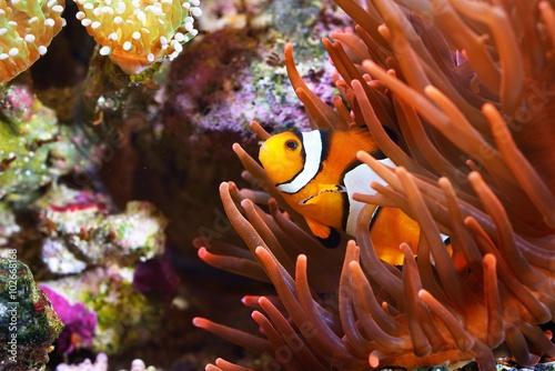 Poster Sous-marin Amphiprion ocellaris clownfish in marine aquarium